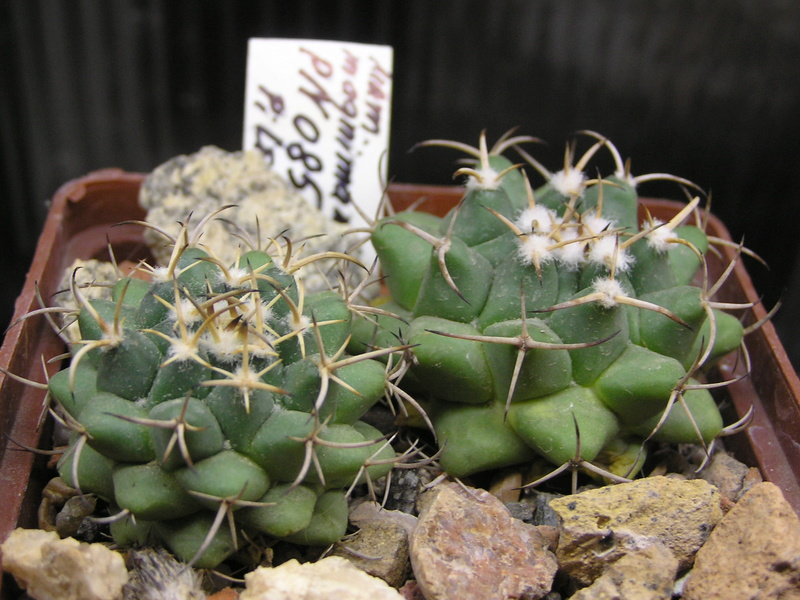 Cactus under carbonate. Seedlings. M_magn10