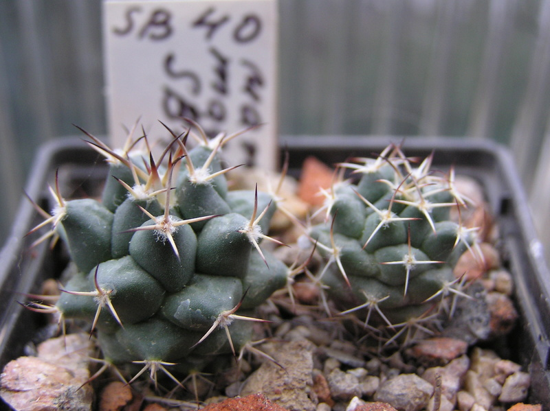 Cactus under carbonate. Seedlings. M_magn11