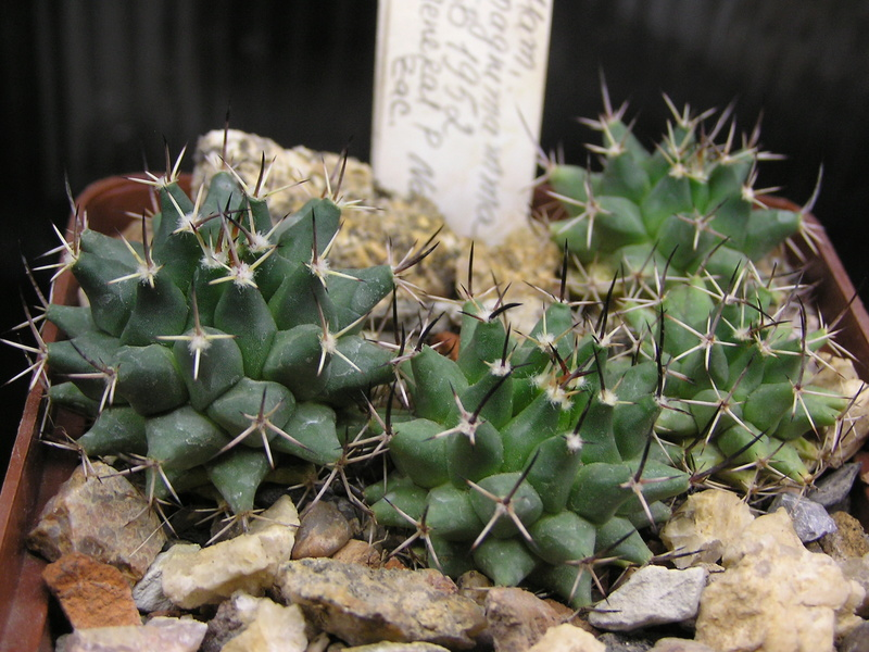 Cactus under carbonate. Seedlings. M_magn13