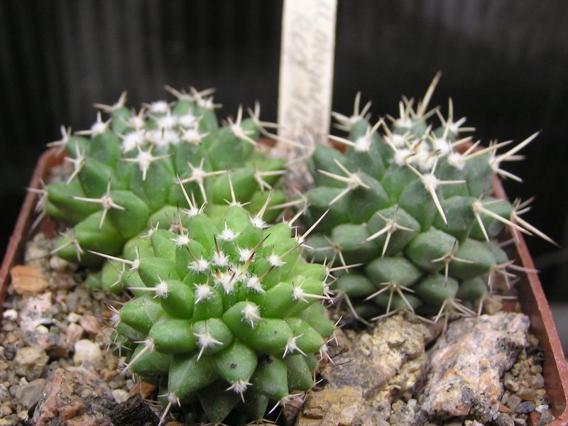 Cactus under carbonate. Seedlings. M_magn14