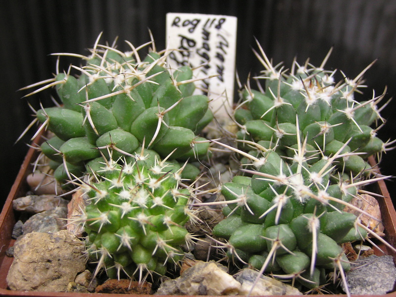 Cactus under carbonate. Seedlings. M_magn15