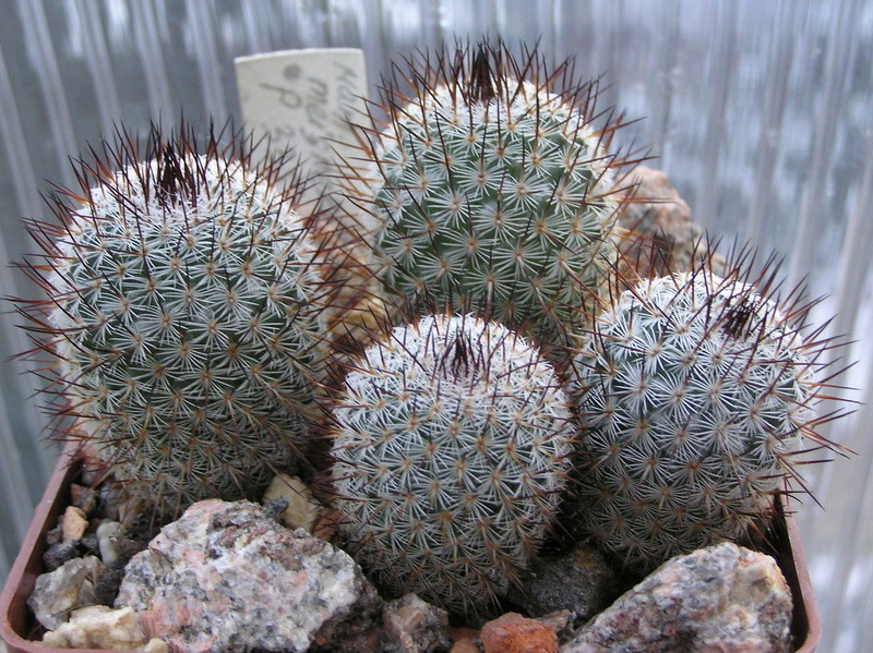 Cactus under carbonate. Seedlings. M_meis10