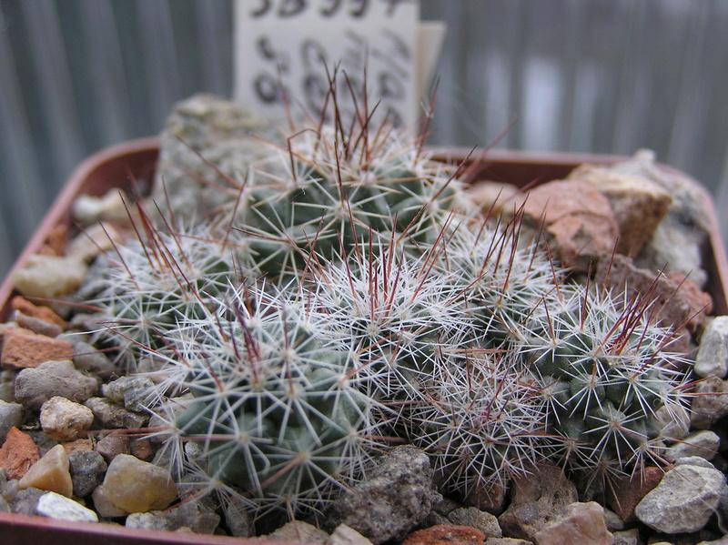 Cactus under carbonate. Seedlings. M_mela10
