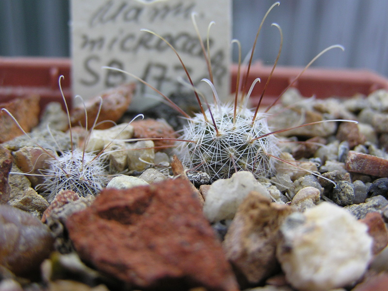 Cactus under carbonate. Seedlings. M_micr13
