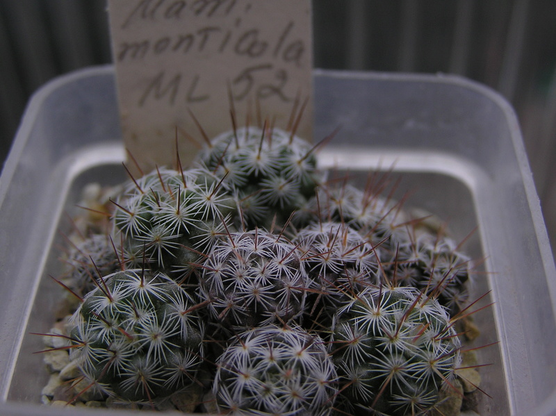 Cactus under carbonate. Seedlings. M_mont11