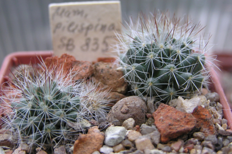 Cactus under carbonate. Seedlings. 2 M_pili10