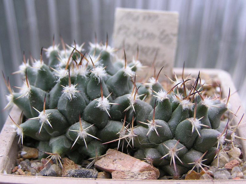Cactus under carbonate. Seedlings. 2 M_prie10