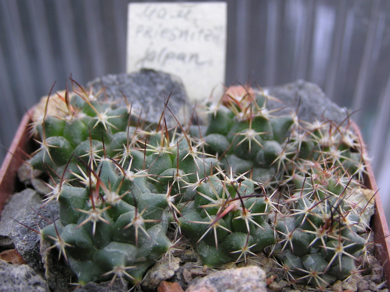 Cactus under carbonate. Seedlings. 2 M_prie11