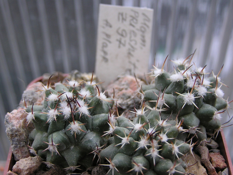 Cactus under carbonate. Seedlings. 2 M_prie12