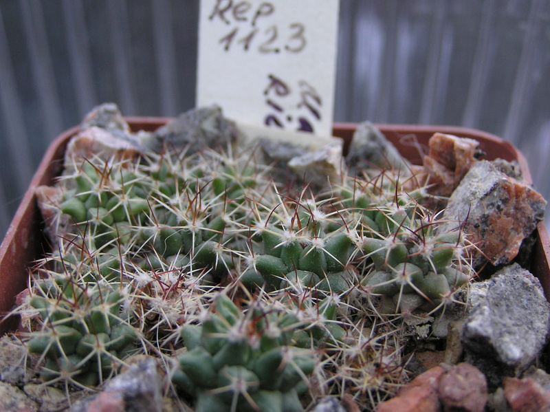 Cactus under carbonate. Seedlings. 2 M_riov12