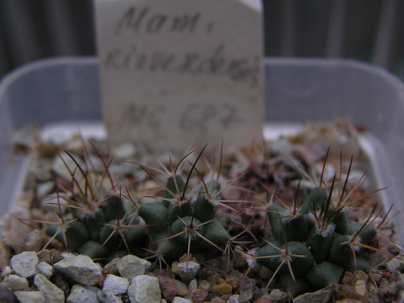 Cactus under carbonate. Seedlings. 2 M_riov13