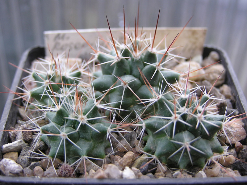 Cactus under carbonate. Seedlings. 2 M_rose10