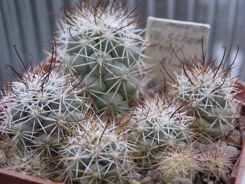 Cactus under carbonate. Seedlings. 2 M_schu10