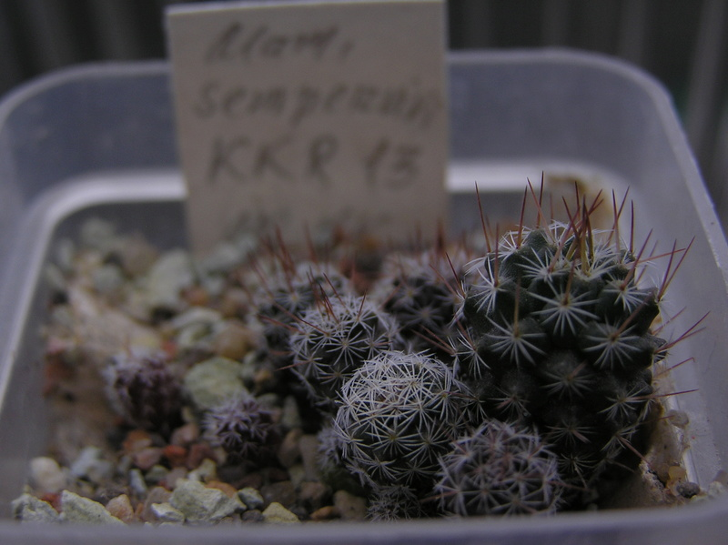 Cactus under carbonate. Seedlings. 2 M_semp11