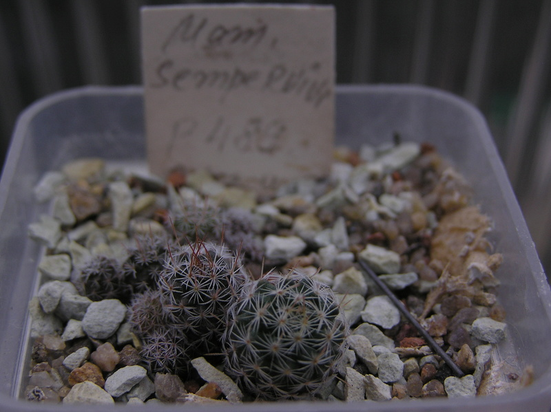 Cactus under carbonate. Seedlings. 2 M_semp12