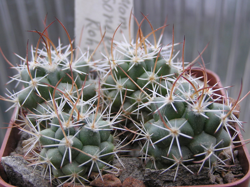 Cactus under carbonate. Seedlings. 2 M_sono10