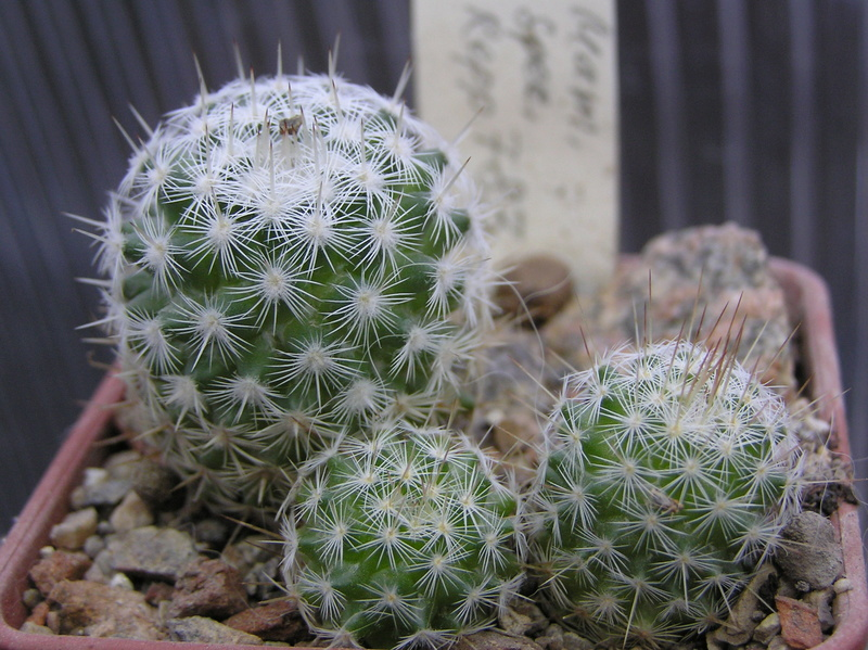 Cactus under carbonate. Seedlings. 2 M_spec10