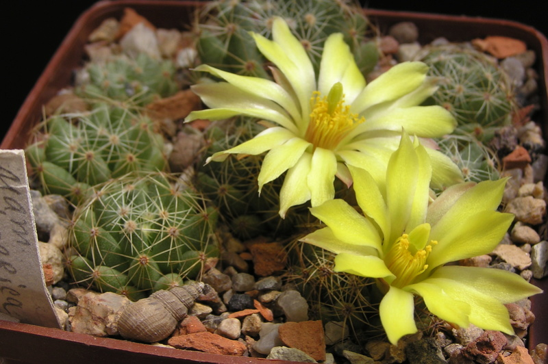 Cacti and Sukkulent in Köln, every day new flowers in the greenhouse Part 183 M_spha10