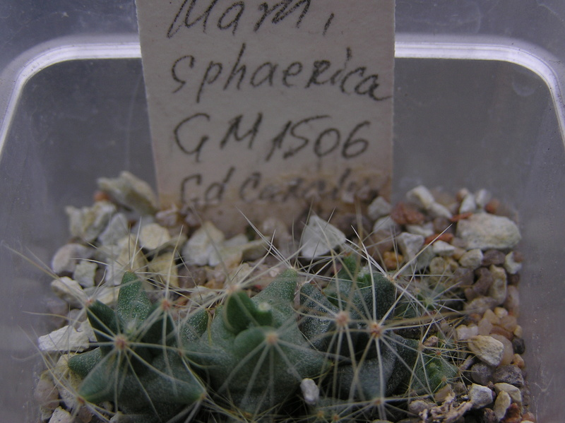 Cactus under carbonate. Seedlings. 2 M_spha12