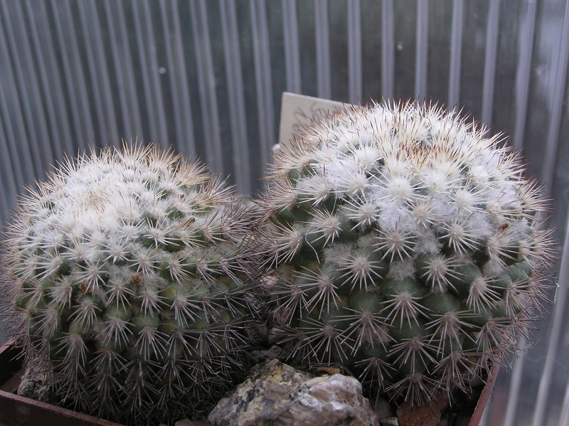 Cactus under carbonate. Seedlings. 2 M_tayl10