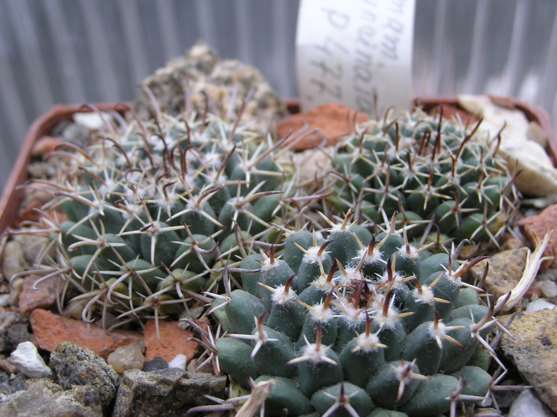 Cactus under carbonate. Seedlings. 2 M_unci13