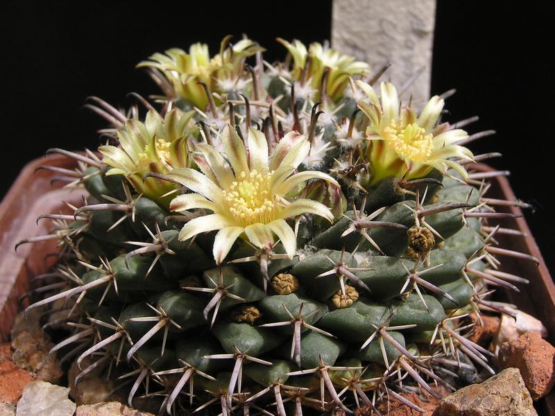 Cactus under carbonate. 17. Started! M_unci14