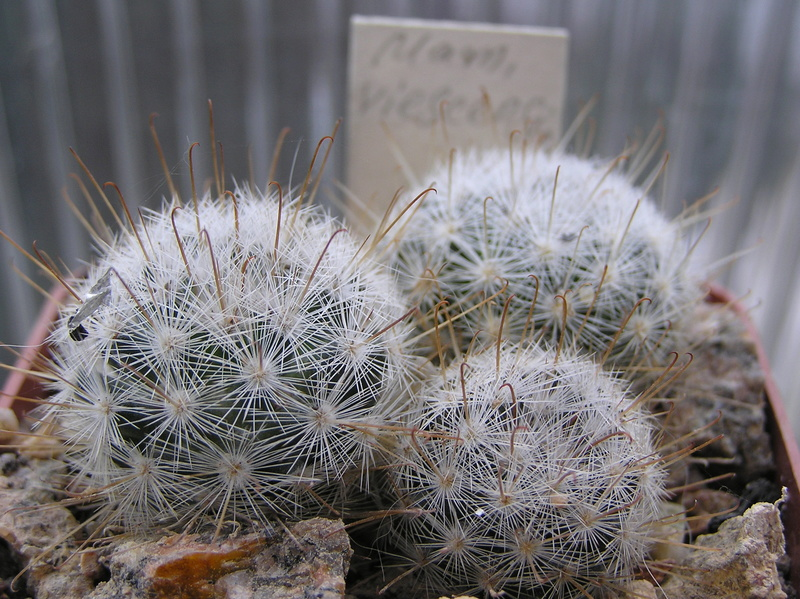 Cactus under carbonate. Seedlings. 2 M_vies11