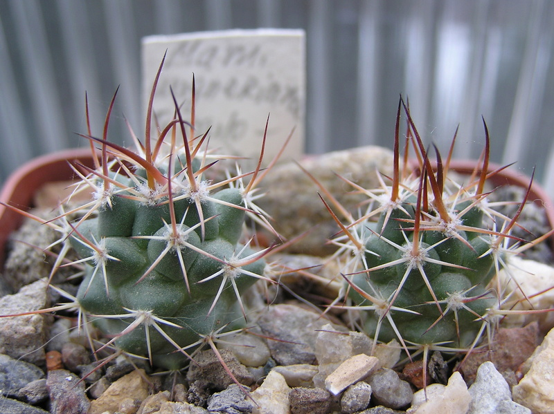 Cactus under carbonate. Seedlings. 2 M_wagn13