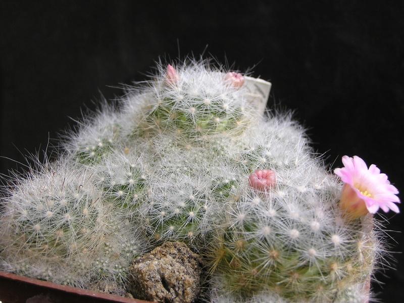Cactus under carbonate. 17. Started! P1010092