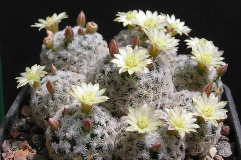 Cactus under carbonate. 17. Started! P1010096