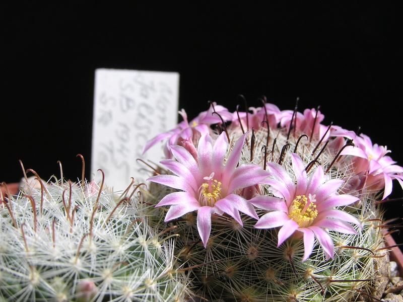 Cactus under carbonate. 17. Started! P1010211