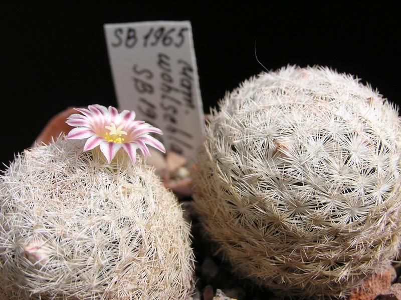 Cactus under carbonate. 17. Started! P1010215
