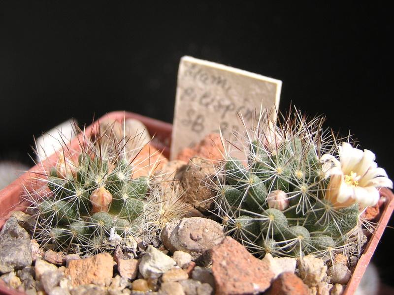 Cactus under carbonate. 17. Started! P1010216
