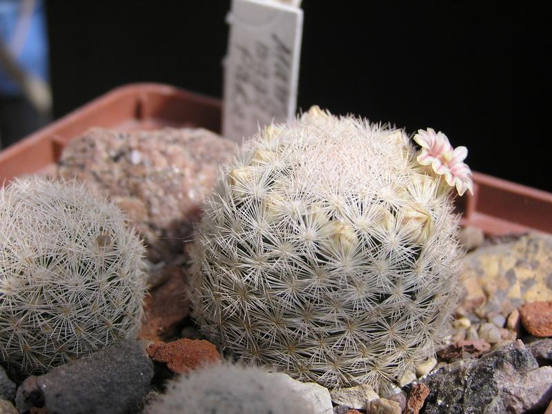 Cactus under carbonate. 17. Started! P1010218