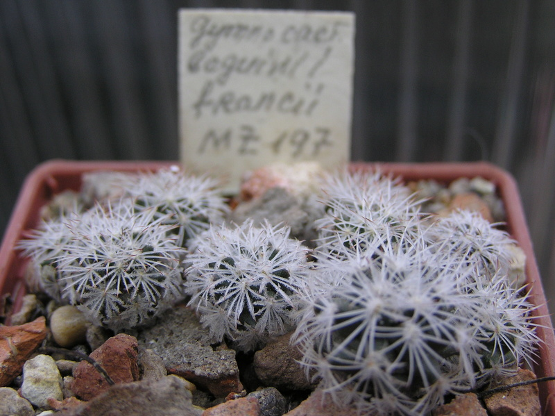 Cactus under carbonate. Seedlings. 2 Tur_be13