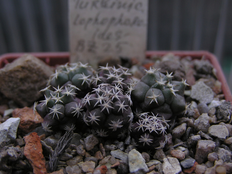 Cactus under carbonate. Seedlings. 2 Tur_lo10