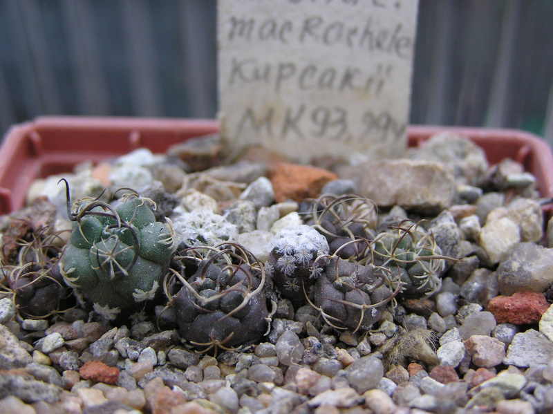 Cactus under carbonate. Seedlings. 2 Tur_ma10