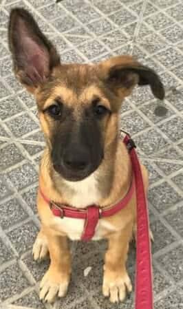 GEADOPTEERD   pup Tokyo met gebroken kaak. 22684910