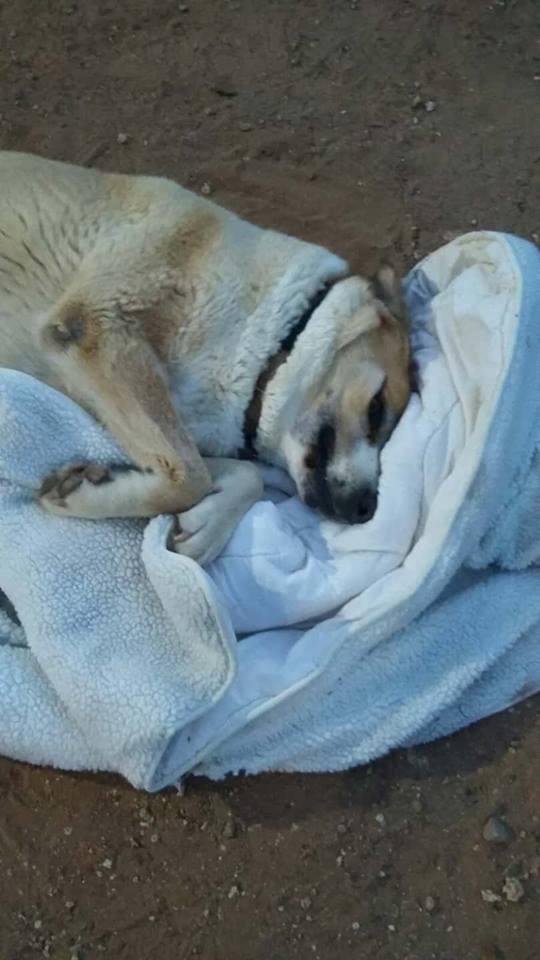 Canis Thor(Gedeeltelijke adoptie) 29920311