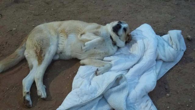 Canis Thor(Gedeeltelijke adoptie) 30070510