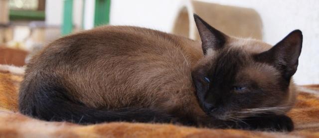 Canis Siamesita   Image110