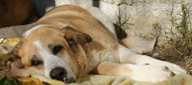 Canis Thor(Gedeeltelijke adoptie) Thor11