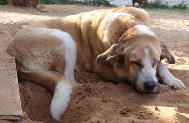 Canis Thor(Gedeeltelijke adoptie) Thor_410