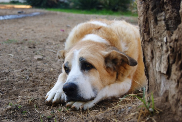 Canis Thor(Gedeeltelijke adoptie) Thor_411
