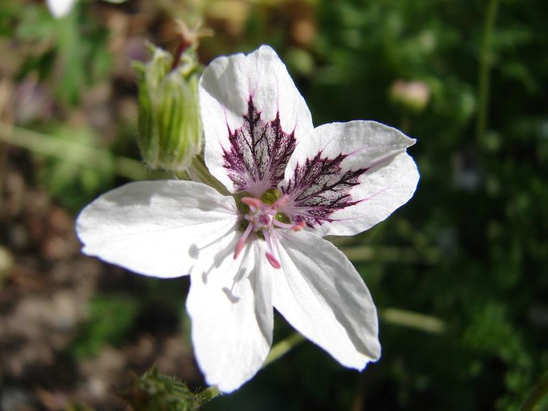 Portrait du mois de mai: Erodium guttatum 'Stéphanie' 01010