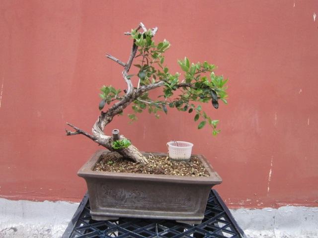 albero d'Italia Img_6054