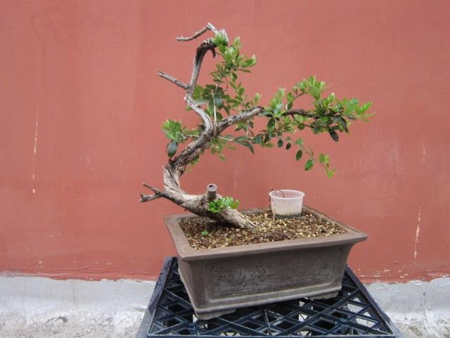 albero d'Italia Img_6055