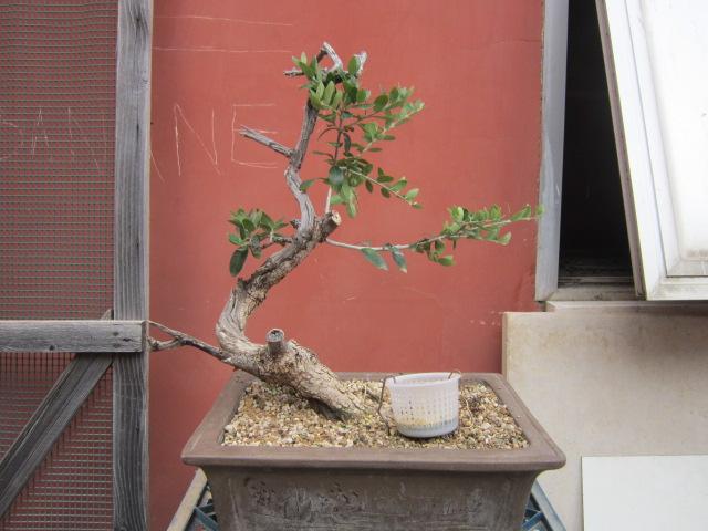 albero d'Italia Img_6112