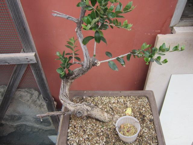 albero d'Italia Img_6113