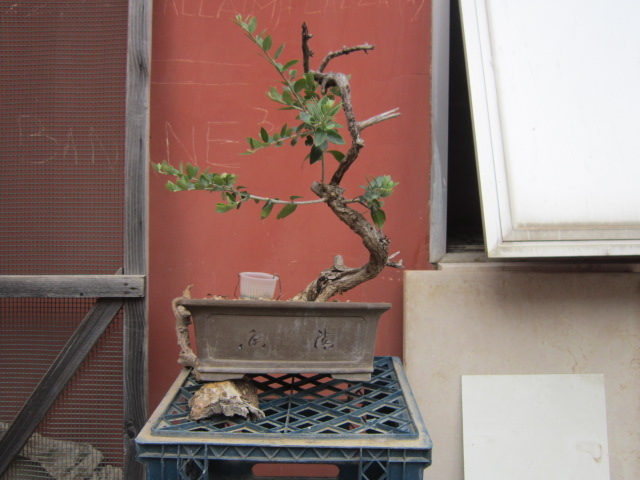 albero d'Italia Img_6114